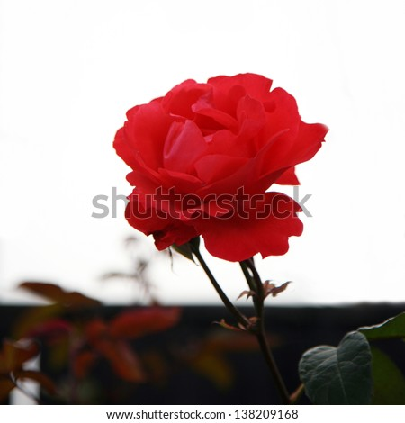 Beautiful pink rose, close up, in a garden   - stock photo