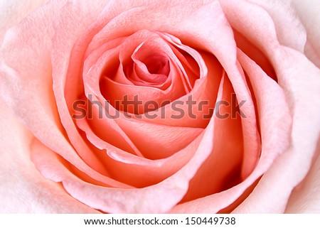 Beautiful Pink Rose closeup - stock photo