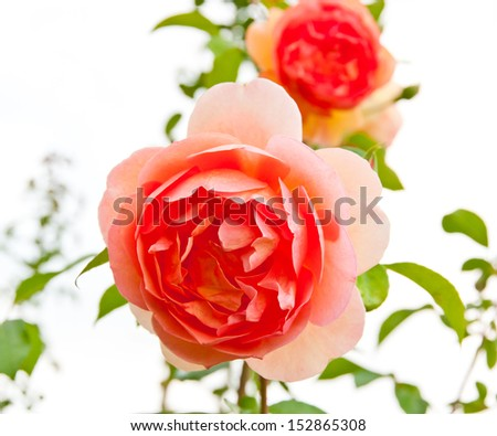 Beautiful pink rose flower in a garden against pale sky. selective focus, shallow dof - stock photo