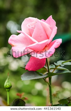 Beautiful pink rose flower with nature background, close up of rose, beautiful rose in garden - stock photo