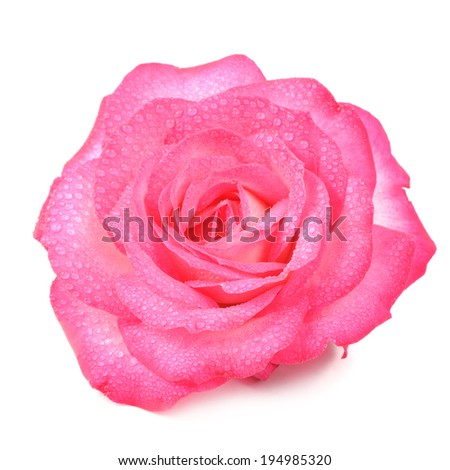 Beautiful Pink Rose Flower with Water Drops Isolated on White Background - stock photo