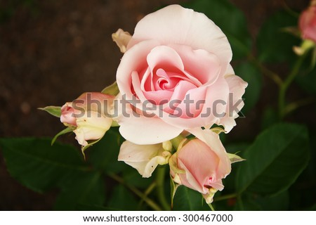beautiful pink rose. Flowers in the garden - stock photo