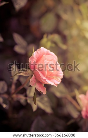 Beautiful pink rose in a garden. vintage tone