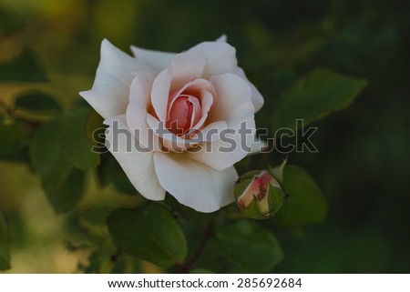 Beautiful pink rose in the garden. Pink rose blooming in garden. - stock photo