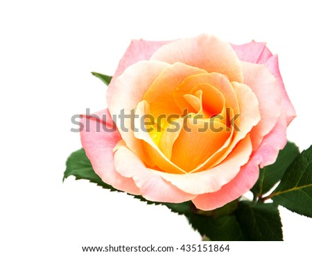 Beautiful pink rose isolated on a white background - stock photo