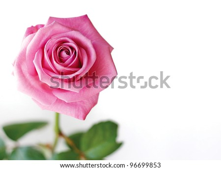 Beautiful pink rose isolated on a white background.