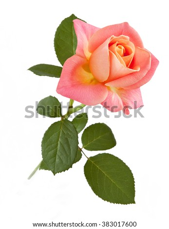 Beautiful pink rose isolated on white background