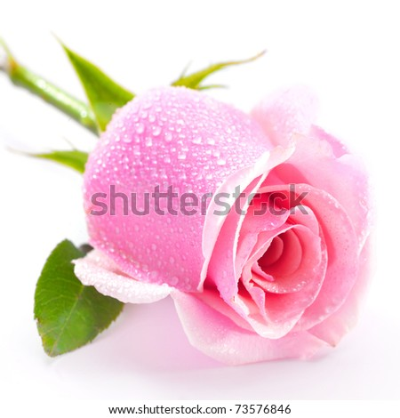 beautiful pink rose isolated on white background - stock photo