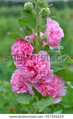 Beautiful pink rose mallow - stock photo