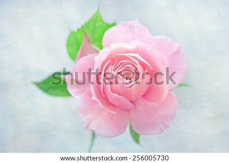 Beautiful pink rose ,vintage style ,grunge paper background.  - stock photo
