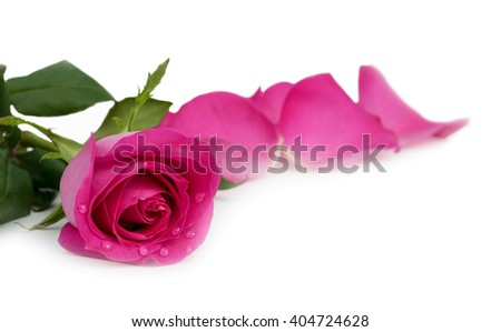 Beautiful pink rose with water droplets on petals isolated on white background with clipping path - stock photo