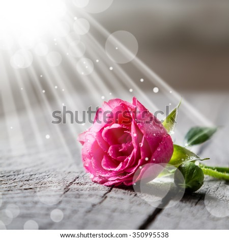 Beautiful pink rose with water drops on rustic background, beam of light, copy space - stock photo