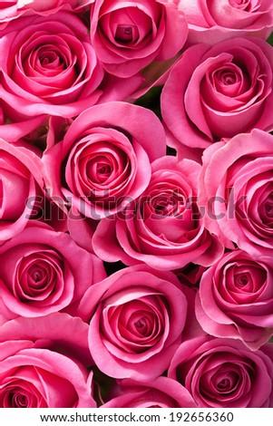 beautiful pink roses background  - stock photo