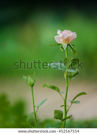 Beautiful Pink roses blooming and bud in a garden - stock photo