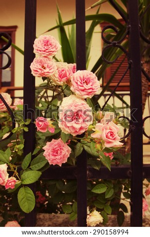Beautiful pink roses in a flower bed at the house.  - stock photo
