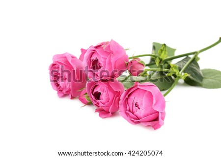 Beautiful pink roses isolated on a white - stock photo