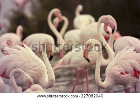 Beautiful pink Rosy Flamingos resting in the water - stock photo