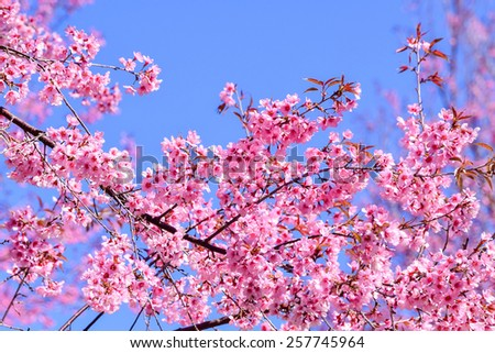 Beautiful pink Sakura flower, blooming on blue sky background (shallow depth of field) - stock photo