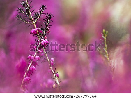 Beautiful pink Spring heath flowers - stock photo