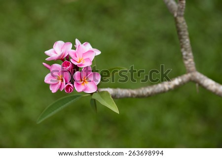 Beautiful pink tropical flowers Plumeria (Frangipani) close up - stock photo