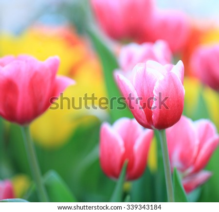 Beautiful pink tulip.pink tulips in the garden. - stock photo