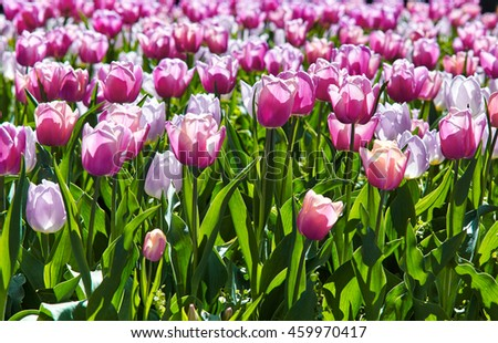 Beautiful pink tulips in the spring time