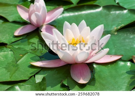 Beautiful pink water lily (Nymphaea alba) in the pond - stock photo