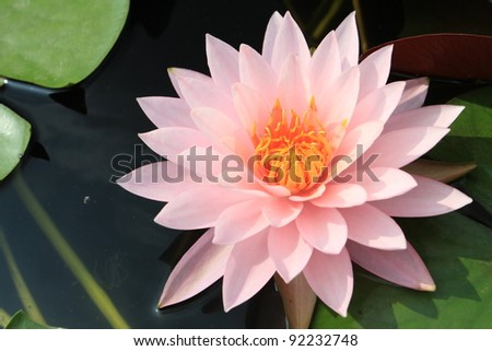 Beautiful Pink waterlily is blooming with a soft sunlight - stock photo