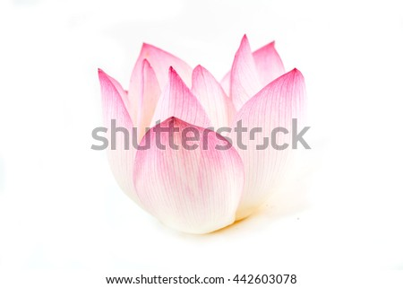 beautiful pink waterlily or lotus flower isolate on white background