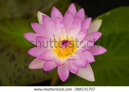 beautiful pink waterlily with background of green leaf.