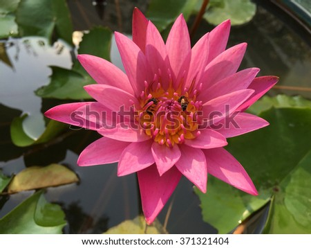 Beautiful pink waterlily with bee