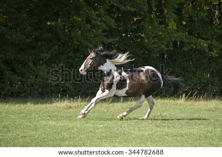 Beautiful pinto horse at gallop in a field of grass
