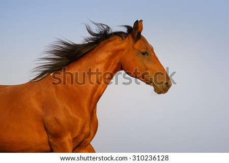 Beautiful pinto horse portrait against blue sky - stock photo