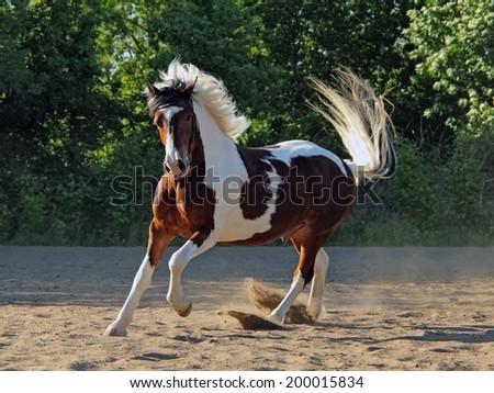 Beautiful pinto stallion running away in nature - stock photo