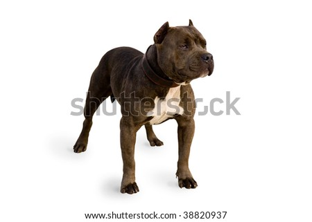Beautiful pit bull strikes an outstanding pose. Isolated on white background.