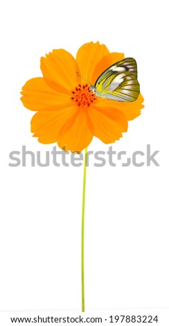 Beautiful Plain butterfly on yellow&Orange flower ( Cosmos flower ) on white background