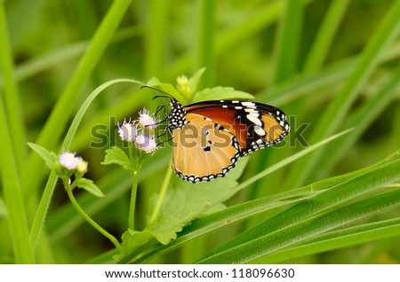 beautiful Plain Tiger butterfly (Danaus chrysippus) on flower near the road track - stock photo