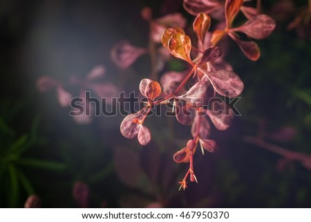 beautiful plant barberry. nature