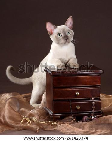 Beautiful playful Burmese kitten - stock photo