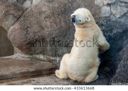 Beautiful playful polar bear sitting with its back to camera and bending neck. Comfortable position. Showing its flexibility.