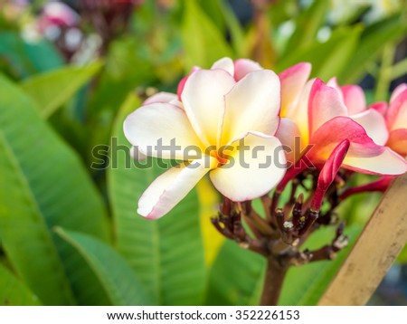 beautiful plumaria flowers on the plant tree in outdoor park