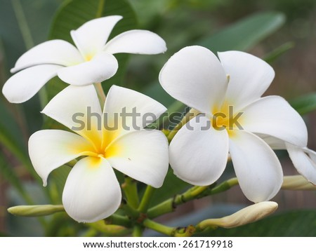 Beautiful plumeria flowers - stock photo