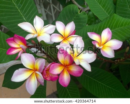 Beautiful plumeria flowers