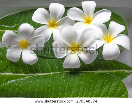 Beautiful plumeria or frangipani flowers floated on fresh green leaf and water in relaxing spa meditation mood