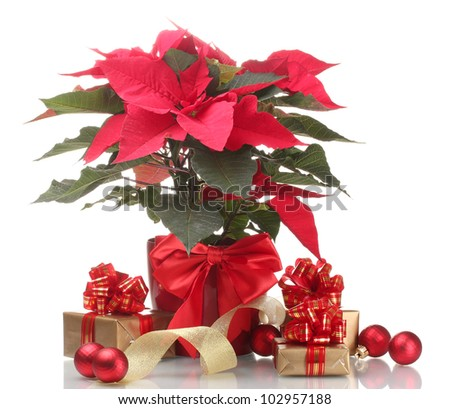 beautiful poinsettia in flowerpot, New Year's balls and gifts isolated on white - stock photo
