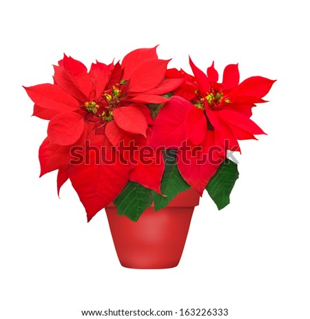 beautiful poinsettia in flowerpot. red christmas flower on white background