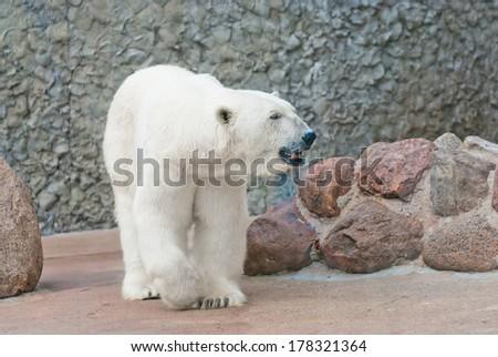 Beautiful polar bear near the stone wall - stock photo