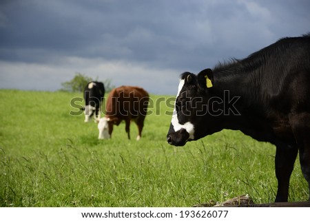 Beautiful Polish cows and bulls on a green field