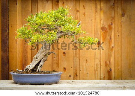 Beautiful Pomegranate Bonsai Tree Against Wood Fence. - stock photo