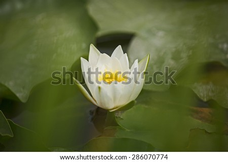 beautiful pond with water lilies in the summer - stock photo